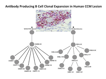 Antibody producing B cell clonal expansion in human ccm lesion